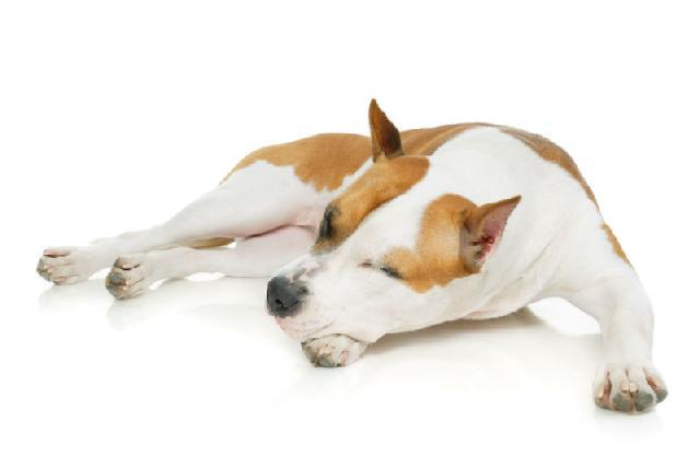 Osteossarcoma canino
