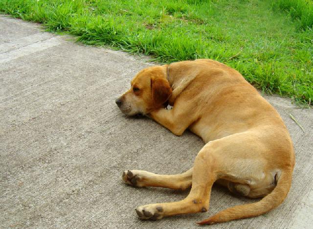 Osteossarcoma em cachorros