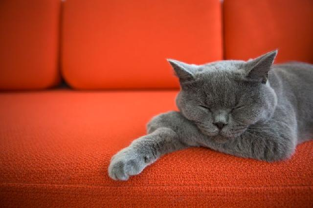 panleucopenia-felina