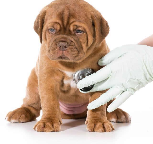Parada Cardiorrespiratória em cães e gatos