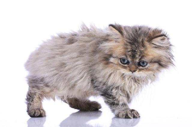pelagem-gatos