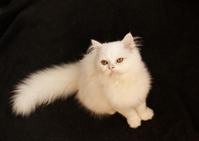 persa-gatos-exoticos