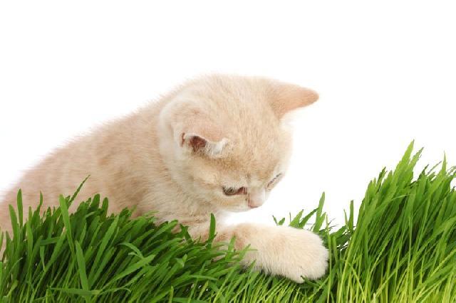 plantar-catnip-erva-gato