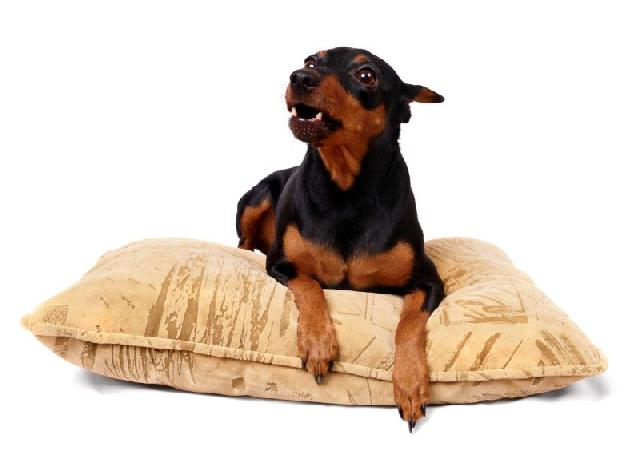 pseudociese-cachorras-cadelas
