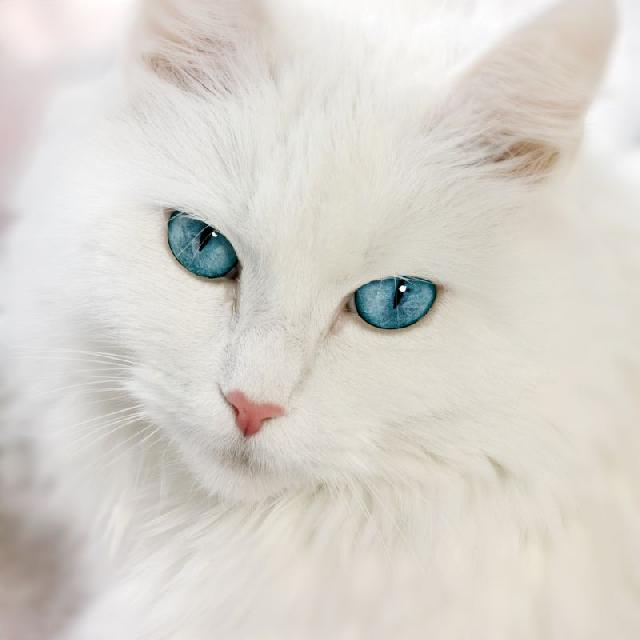 Fluffy Black Cat With Blue Eyes