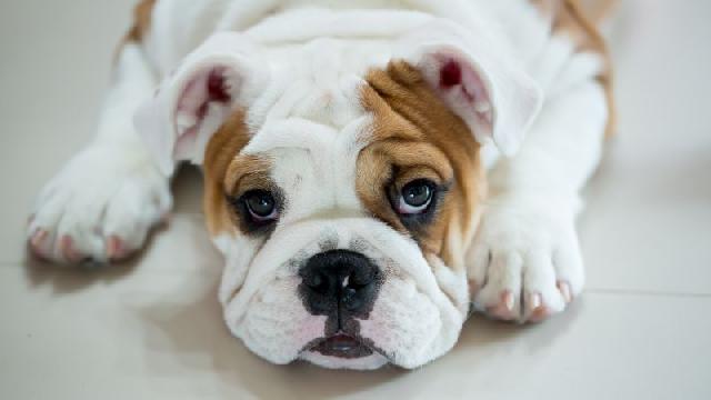 racas-caes-bulldog-ingles