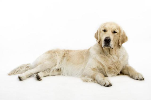 racas-caes-golden-retriever