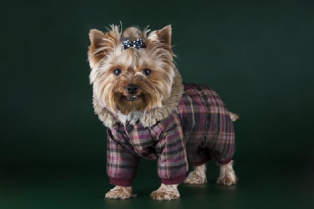 racas-caes-yorkshire-terrier