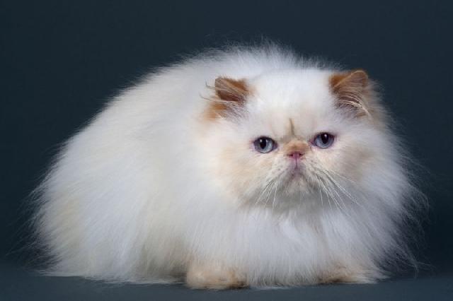 As raças de gato mais populares