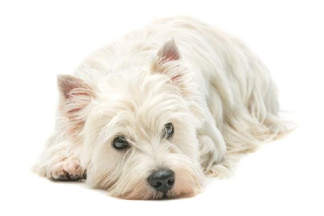 racas-terrier-west-highland-white-terrier
