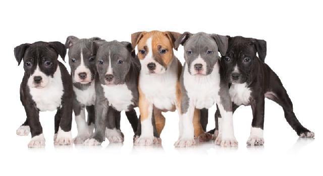 racas-terrier
