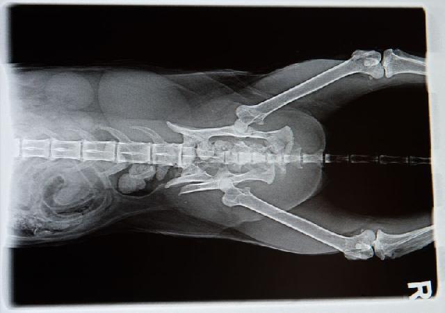 radiografia-displasia-coxo-femural