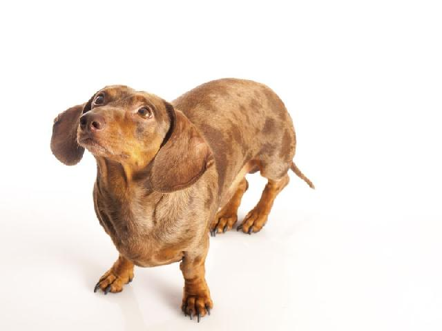 sangue-urina-cachorro