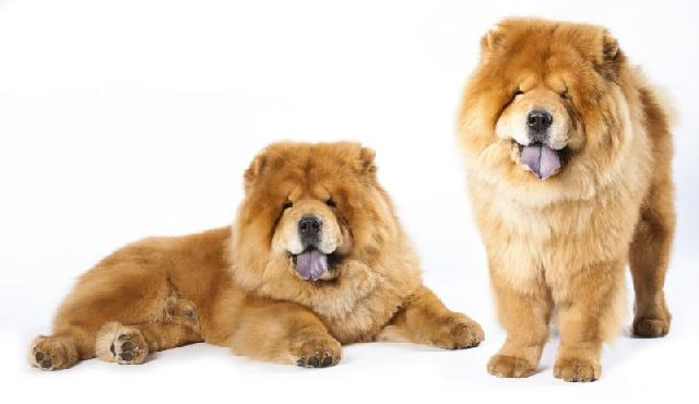 show-show-chow-chow
