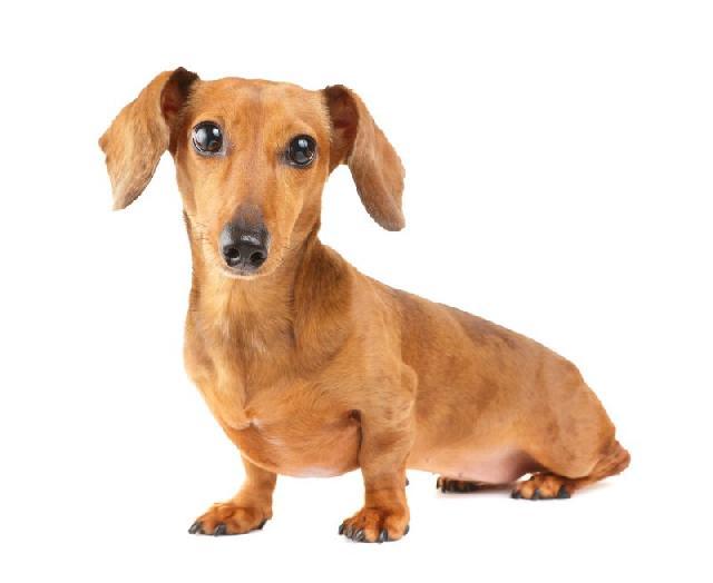 show-show-dachshund