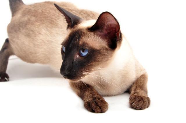 siames-gatos-exoticos
