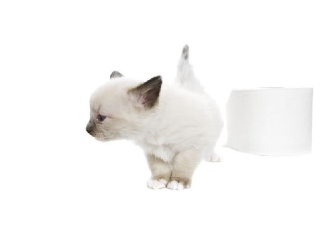 snowshoe-gatos-exoticos