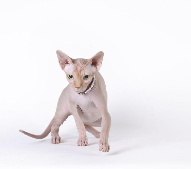 sphynx-gatos-exoticos