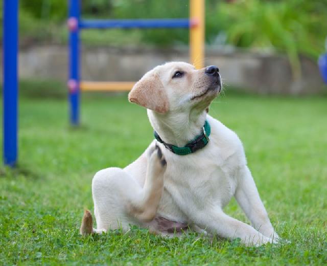 streptococcus-canino
