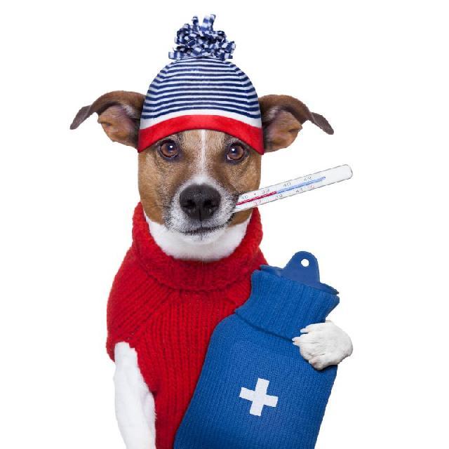 temperatura-cachorro