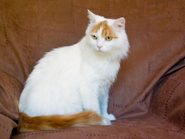 turkish-van-gatos-exoticos