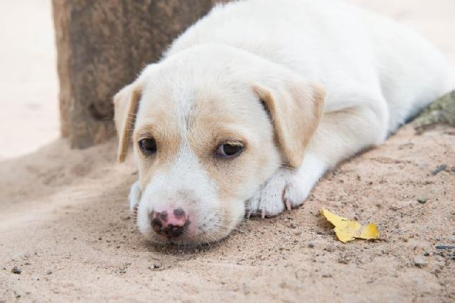 vacina-para-cachorros-caes