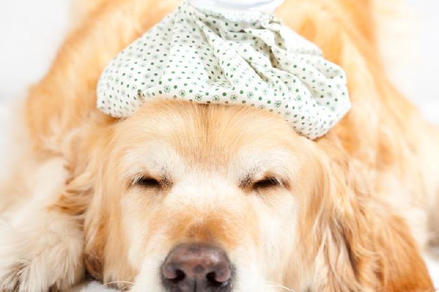 vacina-tosse-dos-canis