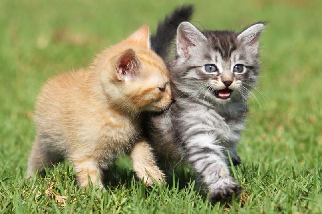vacinacao-para-felinos