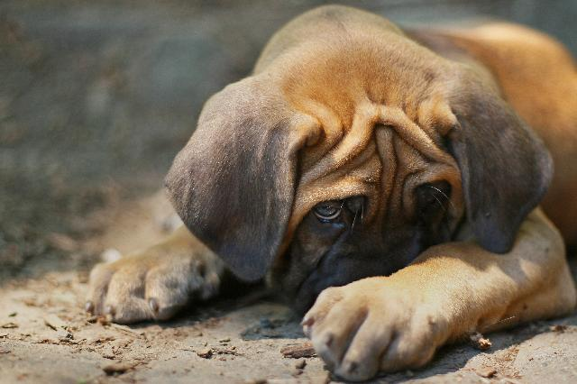 Virose Canina