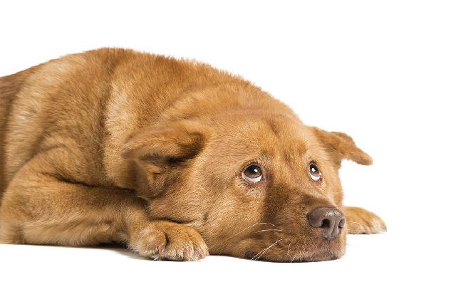 Vomito em Cães