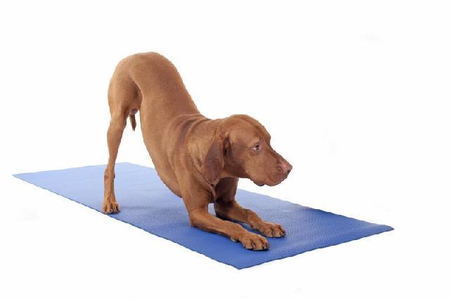 yoga-caes
