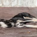 Meu cão foi atropelado. Gostaria de saber: quais são meus direitos em relação a isso?