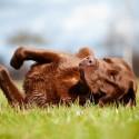 Pode dar vermífugos para cães que estiverem tomando Prednisona?