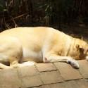 Tenho uma cadela mestiça de labrador que não está conseguindo levantar e quando levanta fica com muita dor.