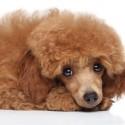 Tenho um Poodle que já é idoso, ele foi para tosa e agora sem pelos está com machucados e bolhas pelo corpo.