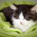 Por quê meu gatinho recém adotado fica mamando no cobertor de microfibra?
