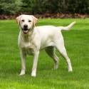 Tenho uma Labradora de 9 meses e meio e ela me 46 cm. Acho ela muito pequena para idade, esta altura é normal?