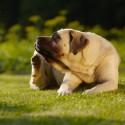 Apliquei há uma semana uma pipeta antipulgas tópico no meu cachorro. Levei ele para uma chácara e hoje apareceram algumas pulgas. Ele não para se se coçar, posso aplicar o antipulgas novamente?