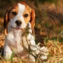 Tenho um Beagle de 3 meses, ele destrói tudo e só faz xixi e coco dentro de casa. O que eu posso fazer?