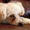 Tenho um Poodle Toy de 7 anos e ele lacrimeja muito, causando manchas e até dermatite abaixo dos olhos. O que posso fazer?