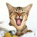 Meu gato está com problemas de mastigação e deglutição, parece ser mandíbula, o que pode ser?