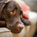 Minha cadela apresentou hemorragia e foi tratada para Erlichia porém suas plaquetas caíram mais ainda.