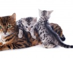Mundo dos Felinos - Curiosidades sobre os Bichanos