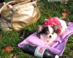 Conheça o Menor Cachorro do Mundo