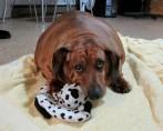 Conheça o Cachorro Mais Gordo do Mundo