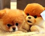 Conheça o Cachorro Mais Bonito do Mundo