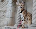 Conheça o Maior Gato do Mundo