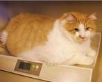 Conheça o Gato Mais Gordo do Mundo