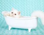 Banho em Gatos - Banhando seu bichano