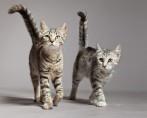 Cruza de Gatos - 5 Coisas importantes que você precisa fazer
